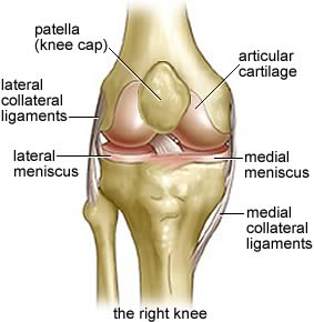 Knee Joint Front View